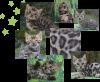 chatons bengal