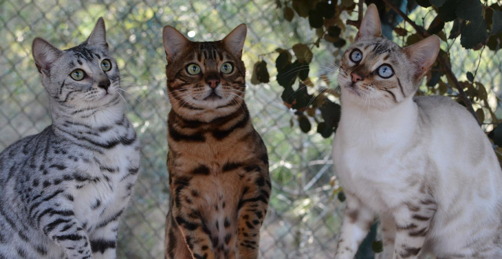 Chat Bengal Vente Et élevage De Chat Bengal Chatterie Bengal